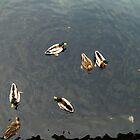 Ducks in Lago di Como (Italy) by dyanera
