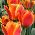 Orange tulips by PhotosByHealy