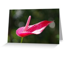 Pristine - Rose Red Anthurium Lily Greeting Card