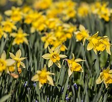 Field of Daffodil Flowers by Pixie Copley LRPS