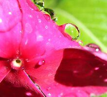 Fuchsia by jmethe