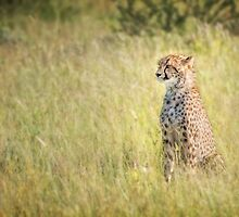 Young Male Cheetah in the Kalahari by Owed to Nature