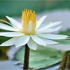 FROM MY WATER LILLY POND - the white waterlilly by Magaret Meintjes