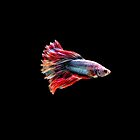 Fancy Siamese Fighting Fish by Betta-Fish