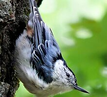 White-Breasted Nuthatch by Christina Rollo