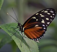 Macro Orange and Black Butterfly by Pixie Copley LRPS