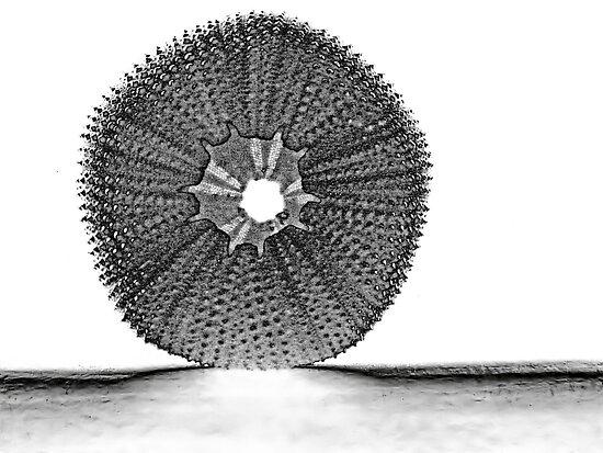 sea urchin  by globeboater