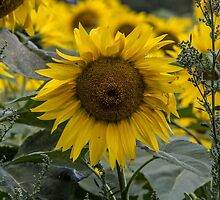 Sunflower in a Field by Pixie Copley LRPS