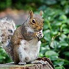 Eastern Grey Squirrel by Susie Peek