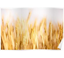 Golden cereal ears grow on field  Poster