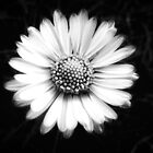 Glowing Daisy by globeboater