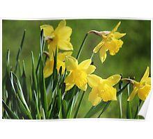Daffodil Dreams Poster