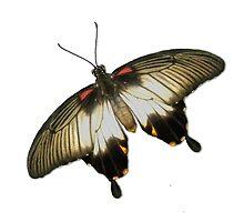 Real Butterfly No. 6 - Black Stripes, Red Spots by LastLittleBird