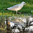 Seagull Reflected ... and good news! by kenspics