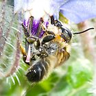 Bee on a Borage Flower by MARTISTIC