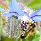 Bee on a Borage Flower 3 by MARTISTIC