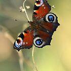 Peacock butterfly on a dried flower by JBlaminsky