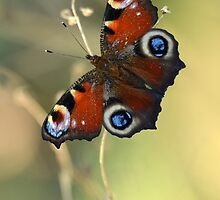 Peacock butterfly on a dried flower by JBlaminsky