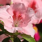 A Glimpse Of Spring - Bertina Azalea by reflector