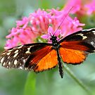 Hecale Longwing... by Poete100