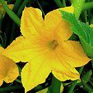 Yellow Squash Blossom by Jan  Tribe