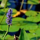Pickerel Weed II by Kathleen Daley