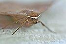 Bat Moth -Da Da Da Da - Da Da Da Da - Bat Moth by MotherNature