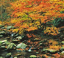 BEECHES ALONG MIDDLE PRONG by Chuck Wickham