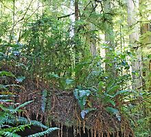 Redwoods I by laurarose