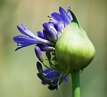 Blue beauty of Lily by loiteke