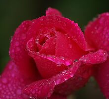 Drops with rose by loiteke