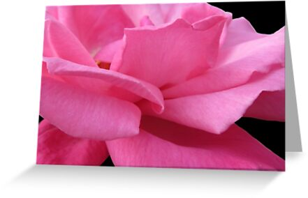PINK ROSE by Colleen2012