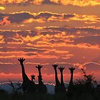 Giraffe - Sunset Sky - African Wildlife and Nature Background by LivingWild