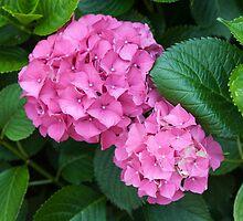 hydrangea in the garden by spetenfia