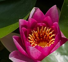 waterlily in the lake by spetenfia