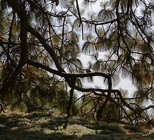 pine in the spring by spetenfia