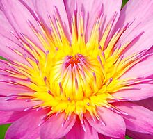 A water lily in close up by jwwallace