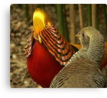 Golden Pheasants Canvas Print
