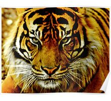 Sumatran Tiger III Poster