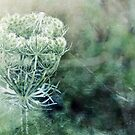 Queen Anne's Lace by Astrid Ewing Photography