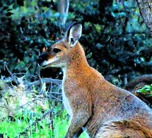 Red Necked Wallaby, Doctor's Flat Road, Wee Jasper by Catherine Howarth