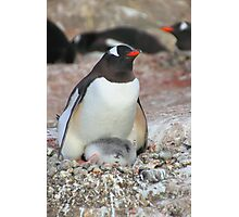 Gentoo Penguin With Chick Photographic Print