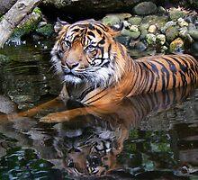 Sumatran Tiger Keeping Cool In Summer by Margaret Saheed