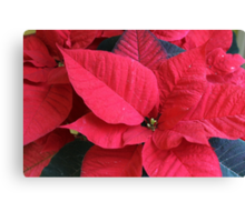 poinsettia flower Canvas Print