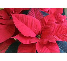 poinsettia flower Photographic Print