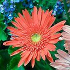 Sunny Orange Gerbera Daisy by Kenneth Keifer