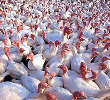 Turkey Farm by BravuraMedia