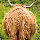 Highland cattle by Walter Quirtmair