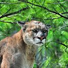 Cougar Mountain Lion & Pine Branches Wildlife Art by Skye Ryan-Evans