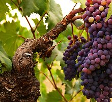 Old Vine Zinfandel Grapes by John Hearne